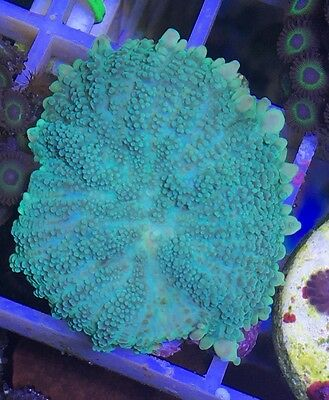 Electric Green Rhodactis Mushroom Coral - Soft Coral, Marine, Frag,
