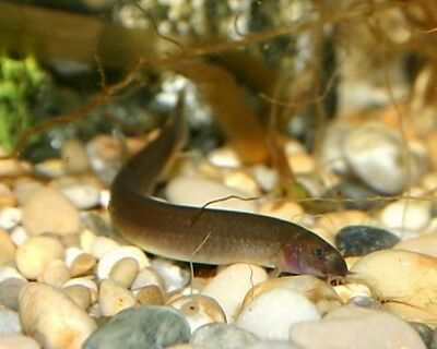 Black Kuhli Loach - Tropical Fish - Tank Cleaner - Community Fish