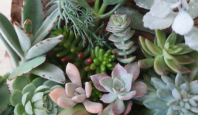 20 Mixed Succulent Cuttings Echeveria, Sedeveria, Sedum, Kalanchoe, Crassula etc