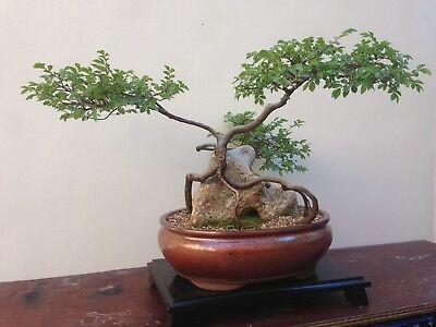 Bonsai Tree Aged Chinese Elm  (free Delivery Sydney Wide)