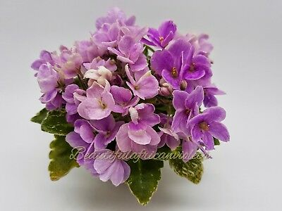 Toronto Belle ~Plant~Mini, girl foliage~African Violet