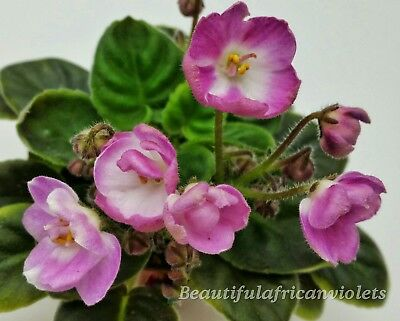 N-Zhavoronok~Plant~Mini~African Violet~Plant~Russian Variety