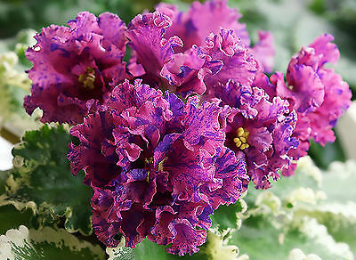 LE-Astreya~Blooming Plant~African Violet~Ukrainian/Russian Variety