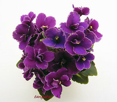 BR-Atos~Plant~Mini, girl foliage~African Violet