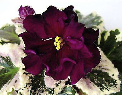 NK-Sofia Rotaru~African Violet~Plant~Ukrainian/Russian Variety