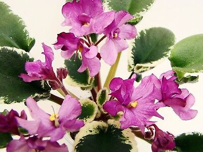 DS-Kankan~Plant~Semi-Mini~Wasp~African Violet~Russian Variety