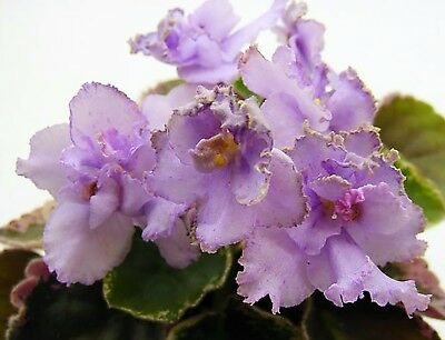 N-Charoit~Plant,Semi-Mini~African Violet~Russian Variety