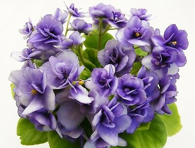 Jolly Andrea~Plant,Semi-Mini~African Violet