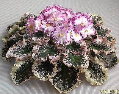RS-Frejlina~Plant~African Violet~Ukrainian/Russian Variety