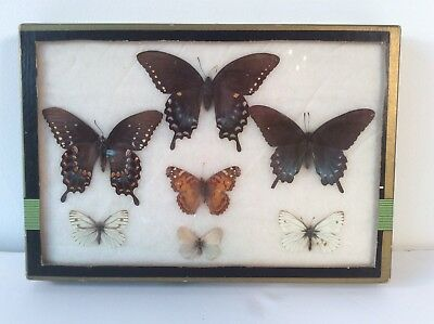 Real Boxed Swallowtail Butterfly Collect 7 Dried Insects Butterflies Moths Vtg