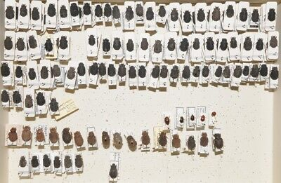 Beetles - Trogidae - Set of 162 specimens from south america