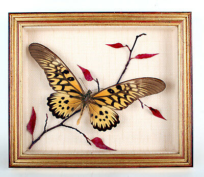Cabinet De Curiosite Rare Papillon Geant De Collection Sous Verre P.antimaque