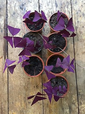 Oxalis Triangularis Plain Purple 2-3 Leaf Very Rare Houseplant, Sent Bare Rooted