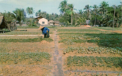 Singapore: Market Garden With Worker & Buildings Unposted Circa 1960's  604