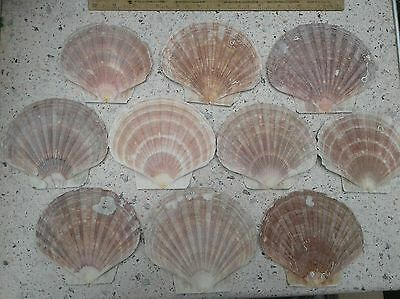 20 x Scallop shells - flat side only. *Free Postage*