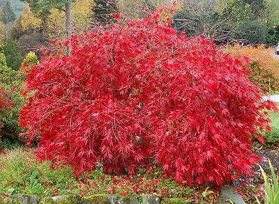 Red Lace Leaf Japanese Maple, Acer palmatum atropurpureum dissectum, Tree Seeds