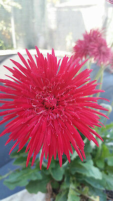 Gerbera Double Flower Deep Red.  Will be posted growing in pot. NOT bare rooted