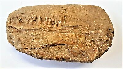 Excellent Mosasaur Jaw with 10 teeth in situ. Cretaceous, 95m yrs old, Morocco