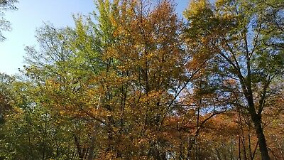 Real new england Autumn Leaves
