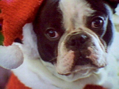 """BOSTON TERRIER CHRISTMAS PUZZLE - 11"""" x 11"""" - 100 PIECES - SO CUTE"""