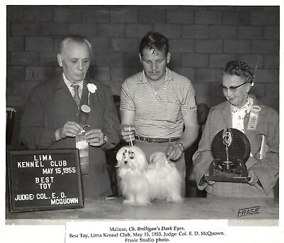 Maltese Dog Photo Ch Brilligans Dark Eyes Ben Burwell Handler Col McQuown Judge