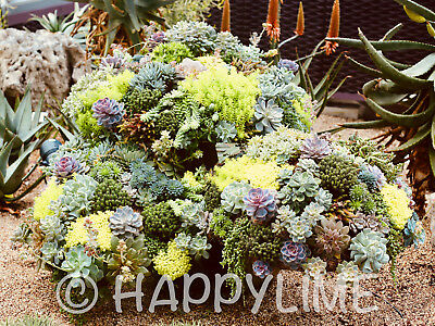 Digital Image Art Photo Wallpaper of Gorgeous Succulents / Sent by Email