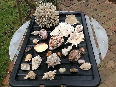 Large Collection Of Approx. 25 Sea Shells Plus A Large Piece Of Unpolished Coral