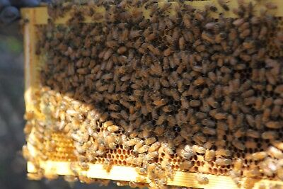 Bee Nuc Hygenic Italian Honey Bees with Proven Queen Ship May 2018
