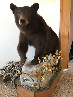 Beautiful bear mount, chocolate colored black bear mount
