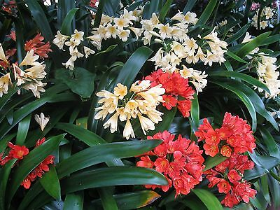 Clivia MIXED Plants. 3 x Yellow & 3 Red
