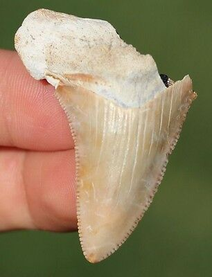 """Colorful! 1.79"""" Angustidens Shark Tooth Teeth Fossil Sharks Megalodon jaws jaw"""