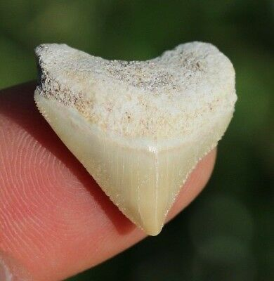 """Cool! 0.93"""" Crow Shark Tooth Teeth Fossil Sharks necklace Megalodon jaws jaw"""