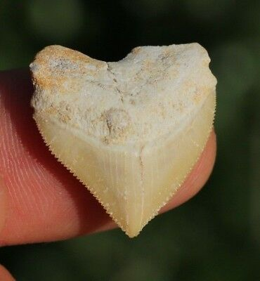 """COOL! 1.02"""" Crow Shark Tooth Teeth Fossil Sharks necklace Megalodon jaws jaw"""