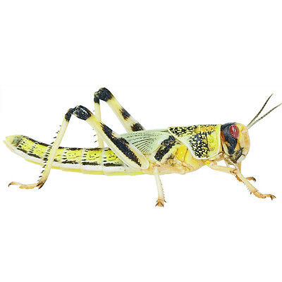 200 x MEDIUM LOCUSTS Live Reptile Food Livefood In TUBS not bags Bearded Dragon