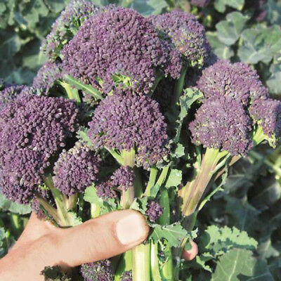 Suffolk Herbs - Organic Broccoli Purple Sprouting Santee - 20 Seeds