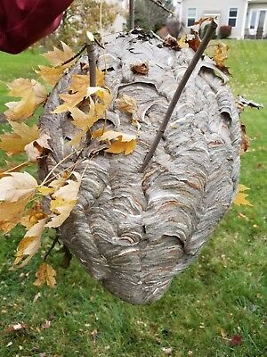 Bald Face Hornet nest, perfect condition