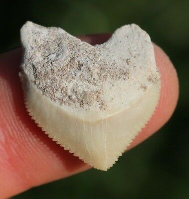 """Nice! 1.03"""" Crow Shark Tooth Teeth Fossil Sharks necklace Megalodon jaws jaw"""