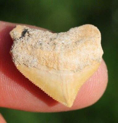 """Colorful! 0.97"""" Crow Shark Tooth Teeth Fossil Sharks necklace Megalodon jaws jaw"""