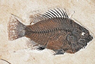 Fossil Fish, Cockerillites liops, 4.85 inches, GRF, Kemmerer, Wyoming, U.S.A. #1