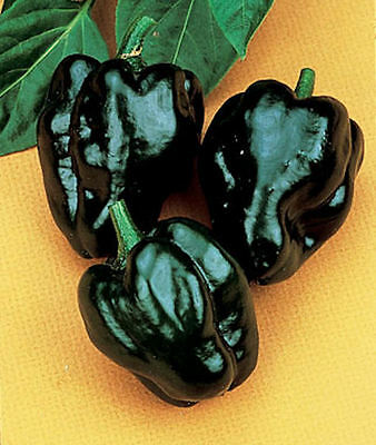 Vegetable  Hot Chilli Pepper Ancho Grande  80 Finest Seeds