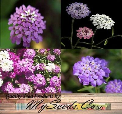 Iberis umbellata CANDYTUFT TALL MIX Flower Seeds - Packet or  BIG PACK Size