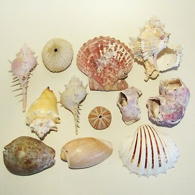 Collection of 12 CORALS & SEA SHELLS (Scallop,Thais,Murex,Urchin,Coral Polyp)