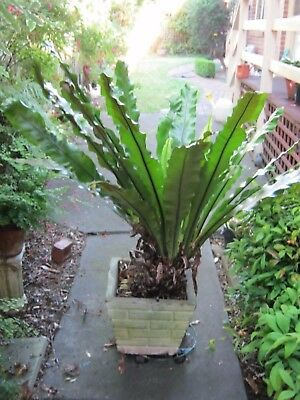 Beautiful Very Large Bird's Nest Fern. Pick-up Blackburn Vic.