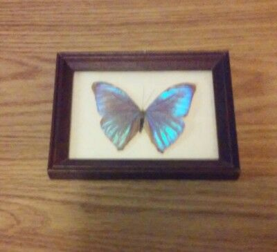 collectible framed butterfly