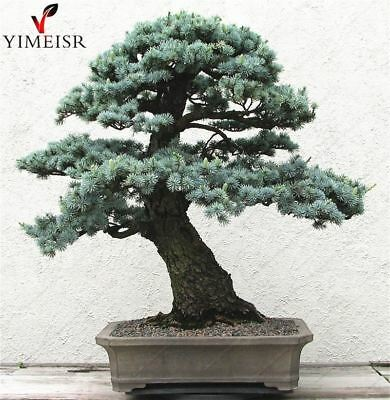 Cedrus deodara seeds Cedrus Deodara Conifer Indoor Plant bonsai tree seeds Light