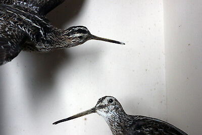Antique Museum Cased Taxidermy Pair of Snipe by Joseph Cullingford Dated to 1895