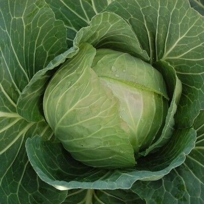 Vegetable - Cabbage - Cabbice - 50 Seeds