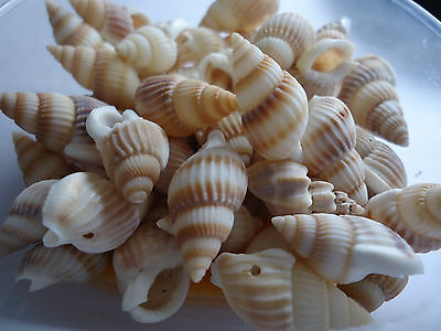 50 x  Natural Sea Shell Beads Tribal Jewellery Craft 17-20mm (BSHE-Q294-19)