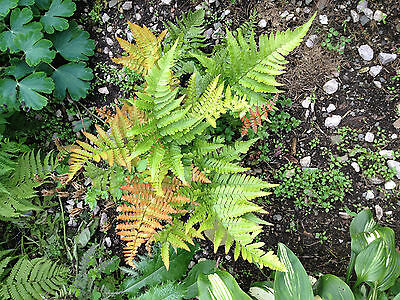 300 Fern Spores -Scroll Down to Select Fern Varieties