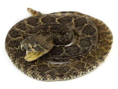"""Mounted Prairie Rattlesnake SMALL: Coiled: 2"""" (1282-M101S)"""